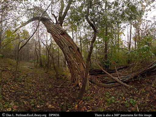 Panorama of ghost chestnut forest Wisconsin