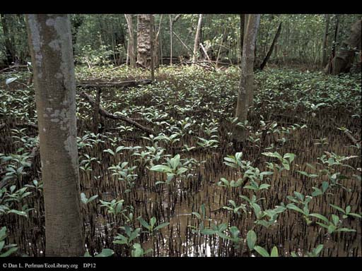 Black Mangroves, <i>Avicennia</i>, Costa Rica