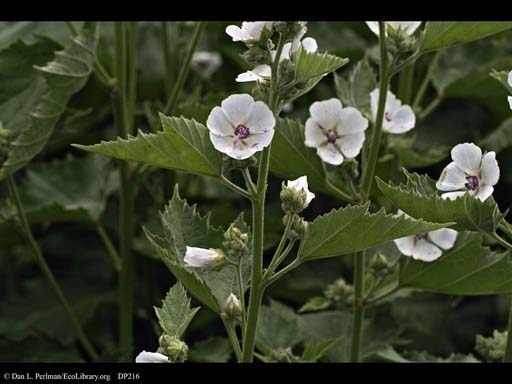 Marsh Mallow, <i>Althaea officinalis</i>
