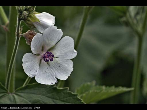 Marsh mallow, <i>Althaea officinalis</i> (close-up)