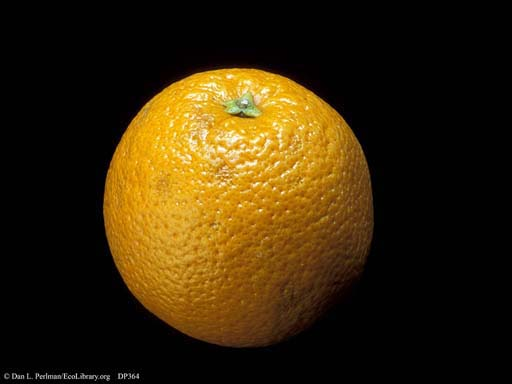 Orange, <i>Citrus sinensis</i>
