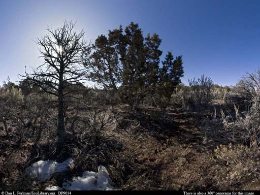 Panorama of Pinyon pine and sagebrush habitat in Colorado