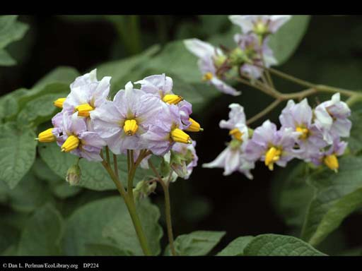 Potato, <i>Solanum tuberosum</i>, in flower